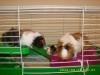 Kaykay1899 - HamsterStory rodent breeder