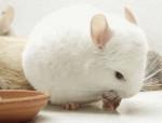 blanche adulte - Chinchilla