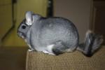 cate - Chinchilla (7 years)