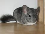 sanaa - Long-tailed Chinchilla (10 months)