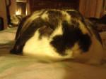 gizmo - Male European Rabbit (1 year)