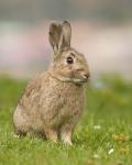 lapin de garenne - European Rabbit (1 year)