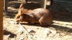 Carotte - European Rabbit