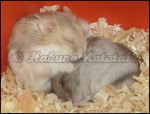 Sleep Time - Russian Hamster