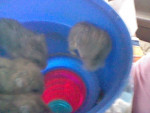 Roo, Smooch, Rou, and Roo Roo Tickle - Male Campbell's Dwarf Hamster