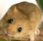 Topolino - Mouse