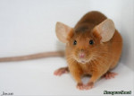Brun - Male Mouse