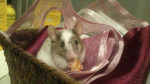 Troya - Male Mouse (1 year)