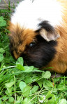 Mama - Rosette Guinea Pig (Other)
