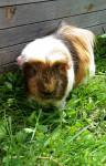 Rina - Rosette Guinea Pig (Other)