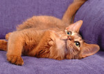 Un chat Somali allongé sur un canapé violet