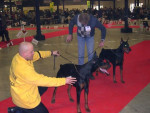 2 Dobermann - Dog