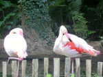 flamant rose - Flamingo