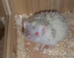 Peppino - Male Hedgehog (7 months)