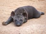 bebe hiena descansando - Hyena (3 years)