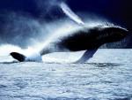Orca - Male Orca (1 year)