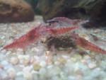 Crevettes Red Cherry -