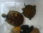 zip y zape - Turtle (1 year)