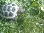 Hermie - Turtle (1 year)